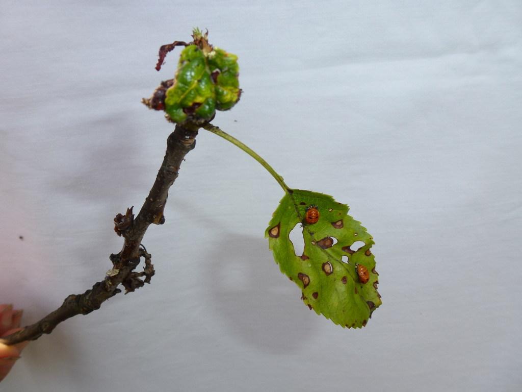 Kirschblatt mit typischen Schrotschuss-Merkmalen und Marienkäferlarven. Einem Monat zuvor hatte die erste Spritzung mit EM stattgefunden.