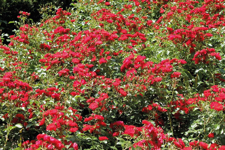 Ein Rosenmeer