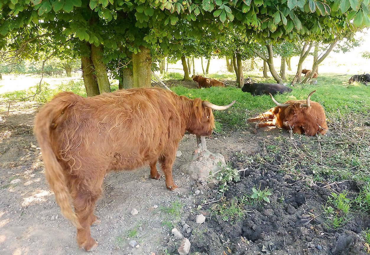 ScSchottische Highland Rinder
