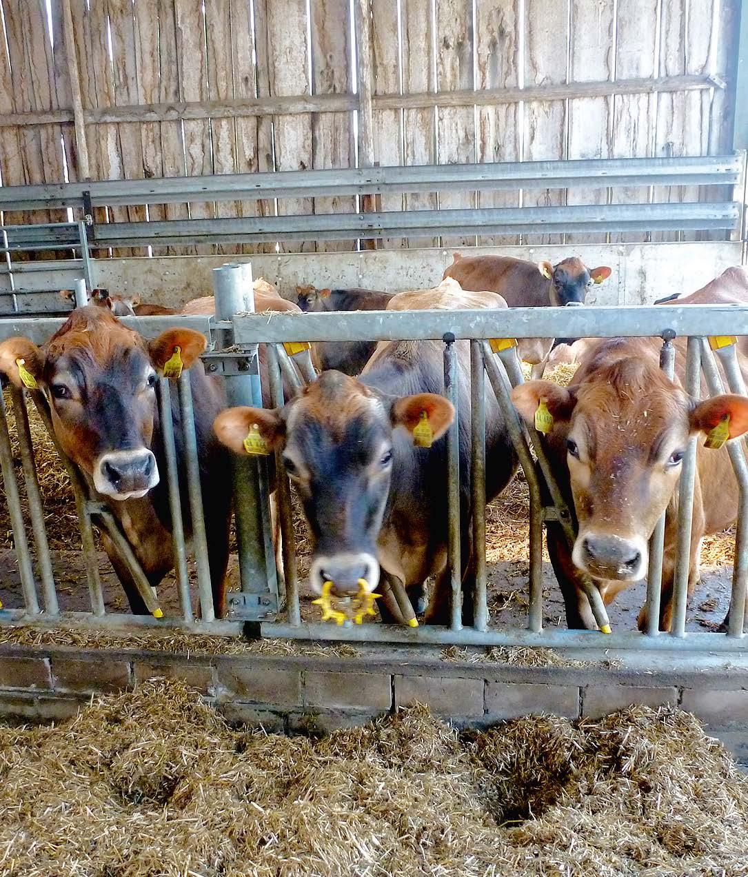 Das Futter ist durch EM so stablisiert, dass es zwei Tage liegen kann. Die Tiere – hier die hübschen Jerseys – fressen es gern.