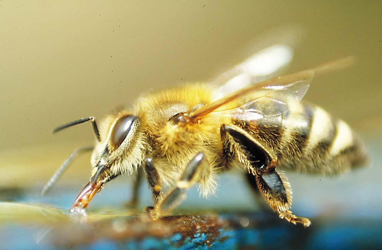 Biene beim Trinken
