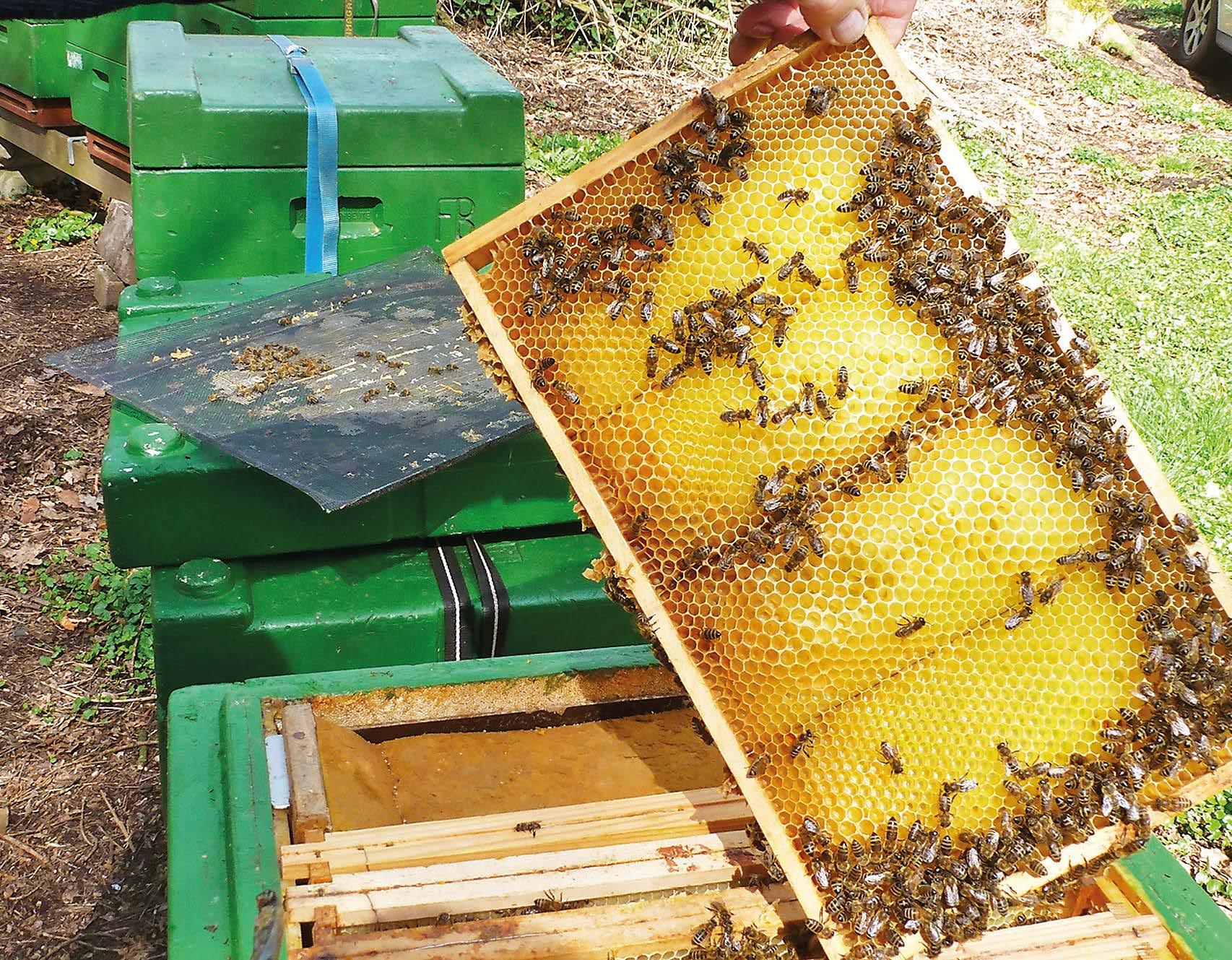 Kerngesunde Bienenvölker bei der Arbeit