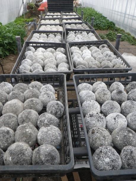 Bokashi Balls fertig -Dangos