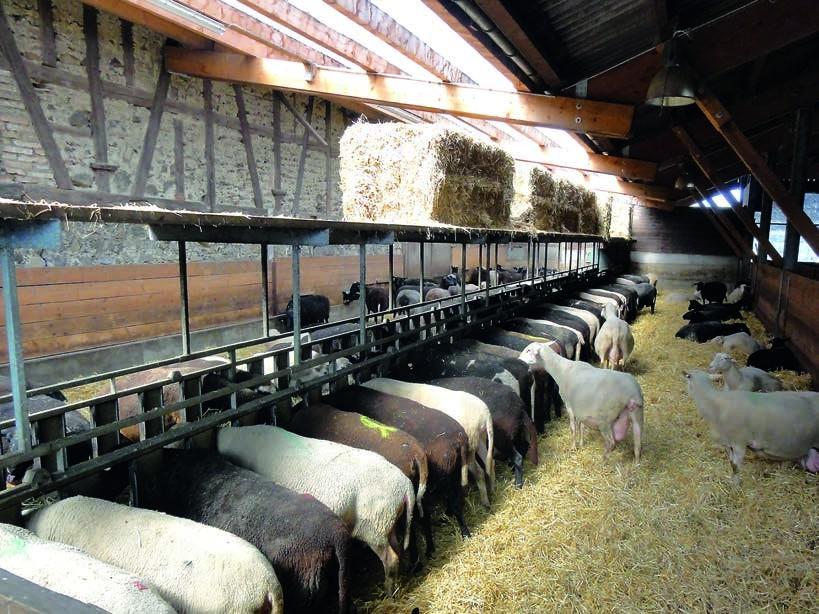 Dank eines EM-angereicherten Futters und einer artgerechten Umgebung sind Urs Maiers Milchschafe gesund und leistungsfähig.