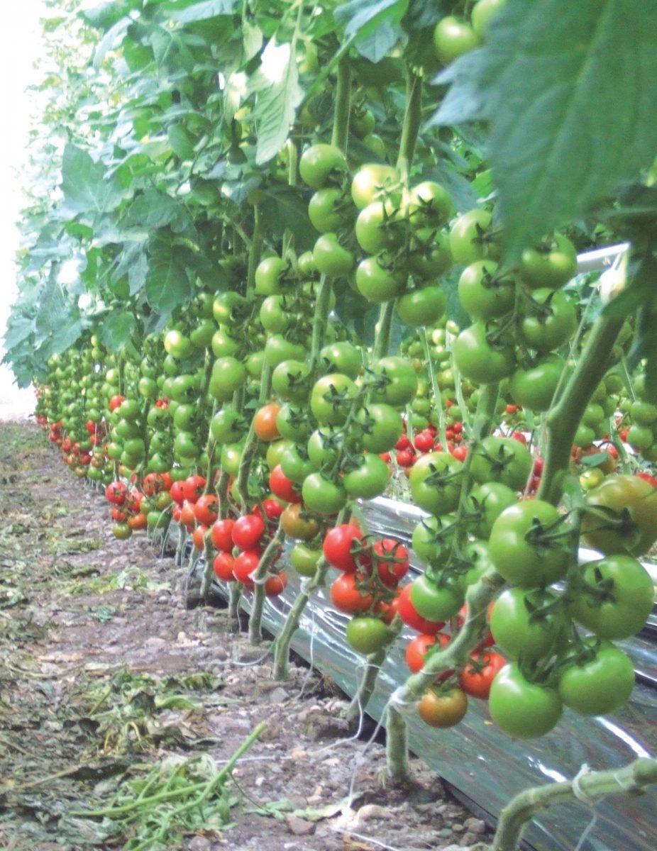 Gesunde + kräftige EM-Tomaten