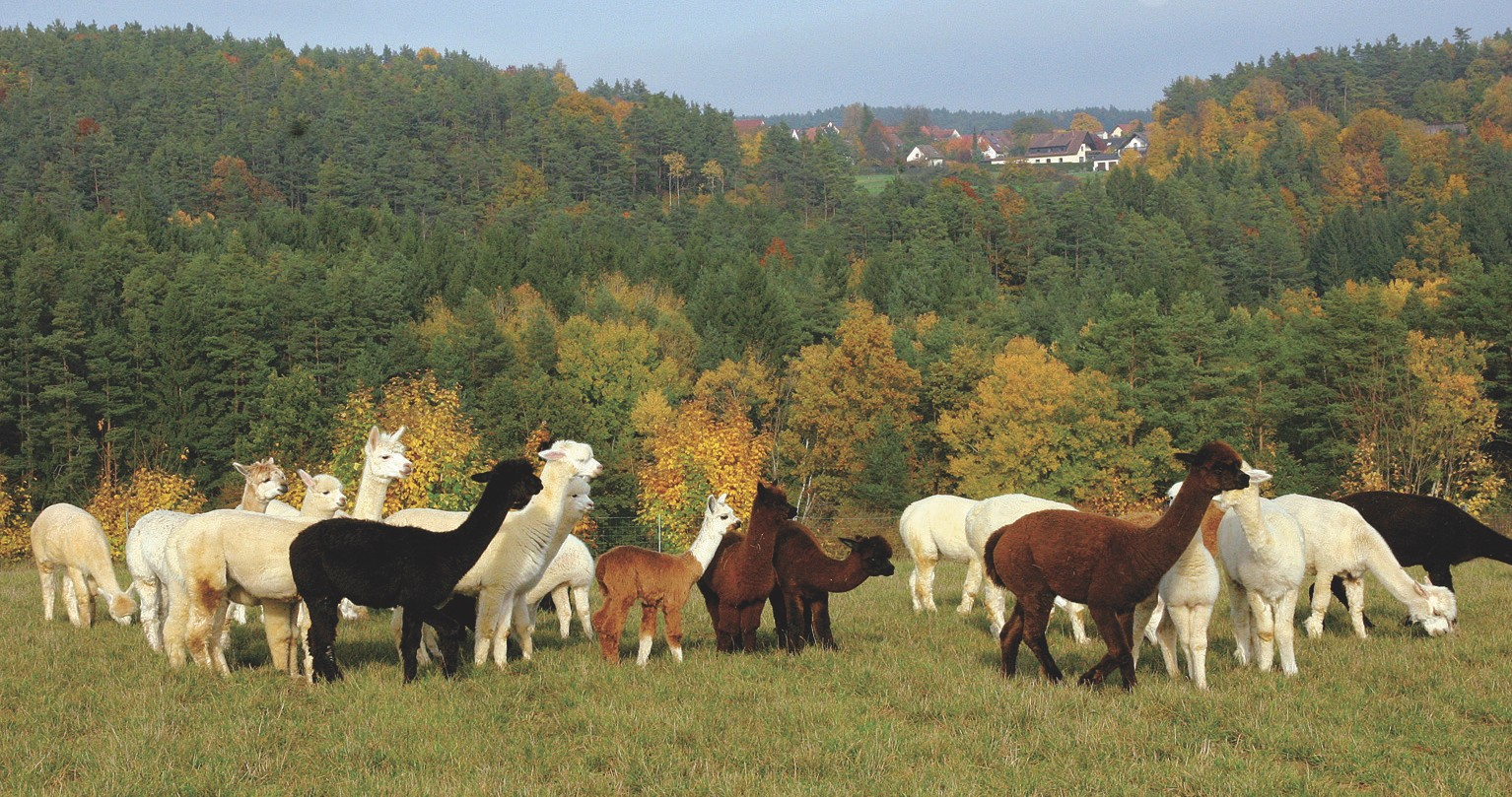 Alpaka Herde