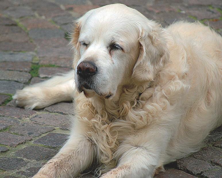 Minderwertiges Futter kann Hunde dick und krank machen.