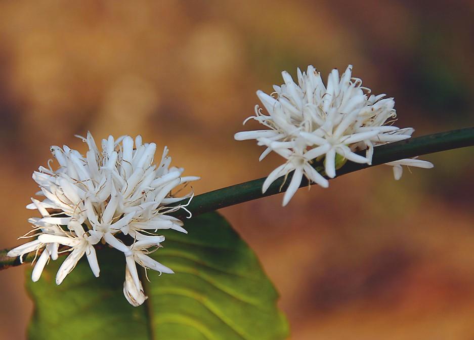 Blüten der Kaffeepflanze