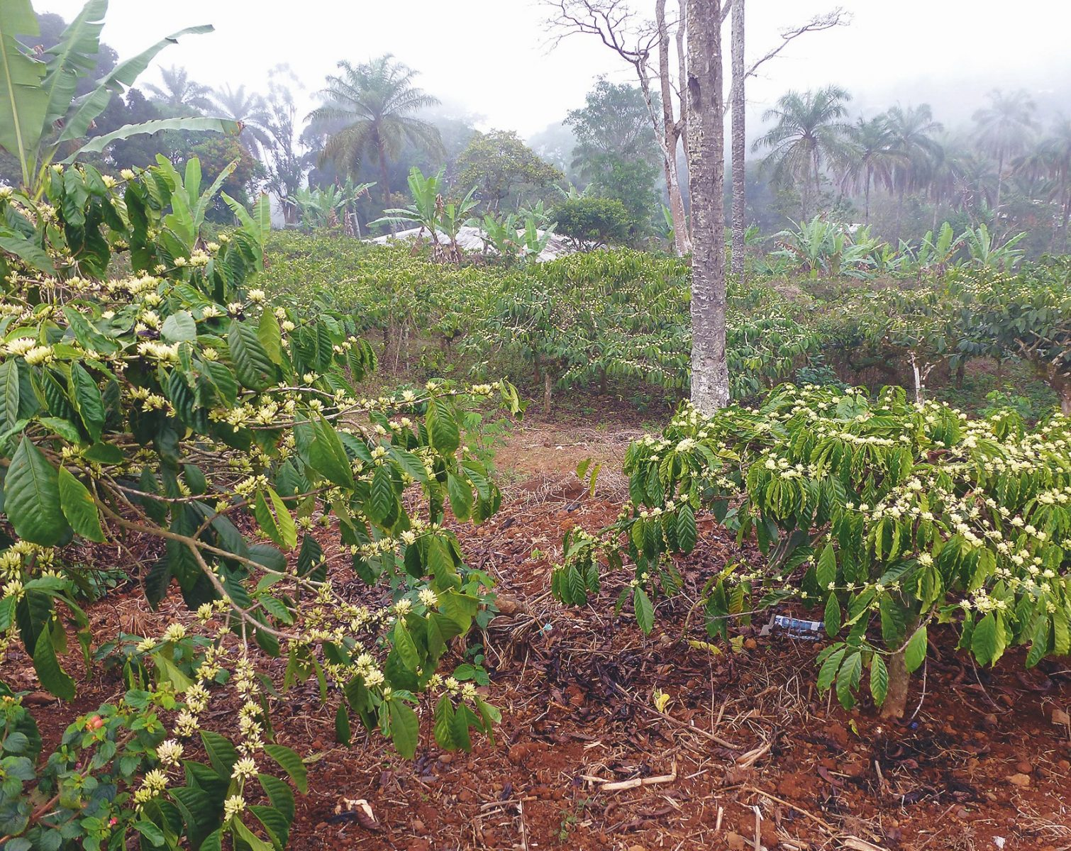 Kaffeepflanzen in Blüte