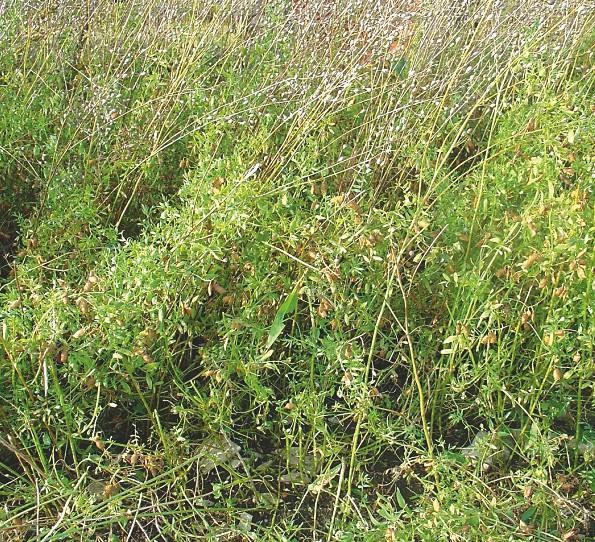 Erntereife Linsen- und Leindotterpflanzen; Leindotter dient als Stützpflanze für die Linsen.