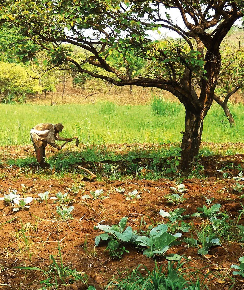 In Kamerun hat UTAMTSI Flächen gekauft, um dort den Kaffee, Kakao- und Gemüse- Anbau mit EM zu erproben.