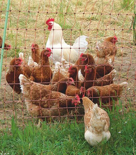 Prächtige, freilaufende EMHühner mit ihrem Hahn, die in dem mobilen Hühnerstall von Rafael Müller wohnen.