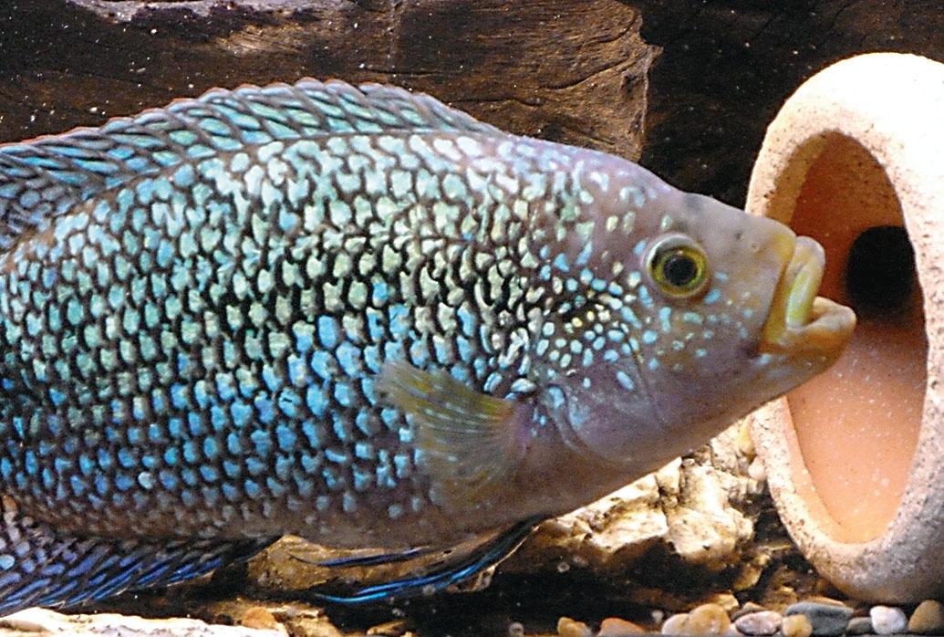 Je gesünder der Fisch ist, desto leuchtender schillern die Schuppen und desto intensiver sind die Farben.