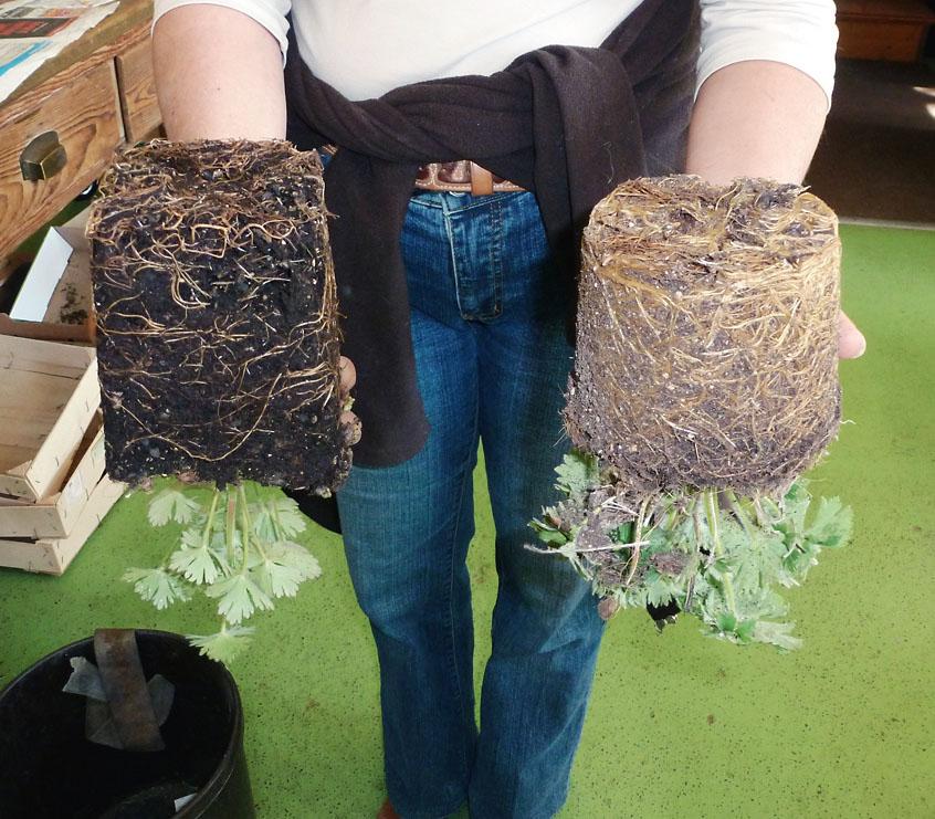 Ein deutlicher Unterschied: mehr und gesündere (helle) Wurzeln und dichteres, kräftigeres Laub bei der Pflanze in der eigenen Bokashi-Erde.