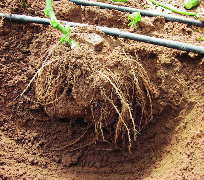 Vor dem Abräumen der Pflanzen wurde die Wurzelmasse verglichen.
