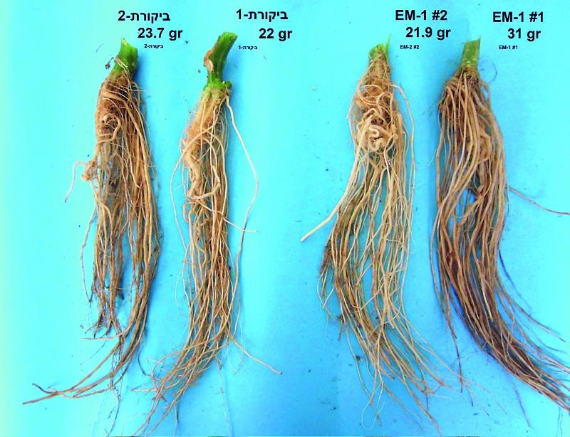 Die Wurzeln der EM-Pflanzen waren stärker und gesünder als die der Kontrolle.