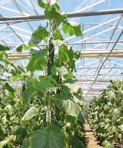 Gurkenpflanzen auf der Reichenau