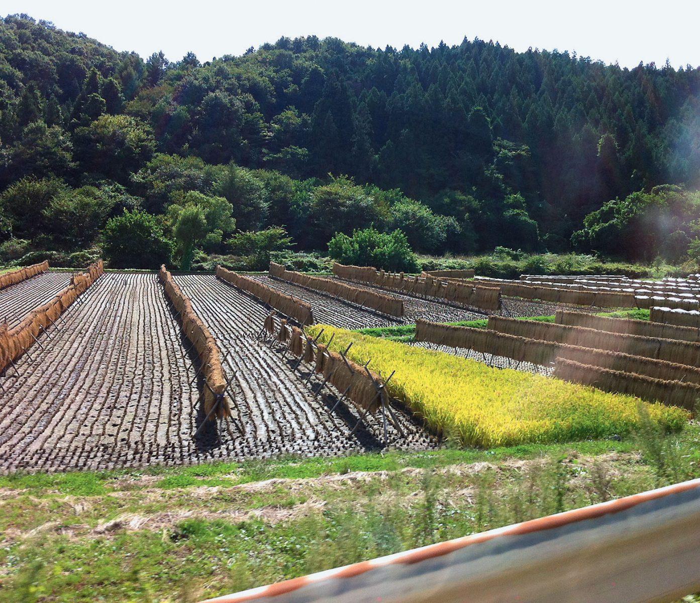 Das Reisfeld des Bauern Hidetochi Suzuki nach der Ernte 2012.