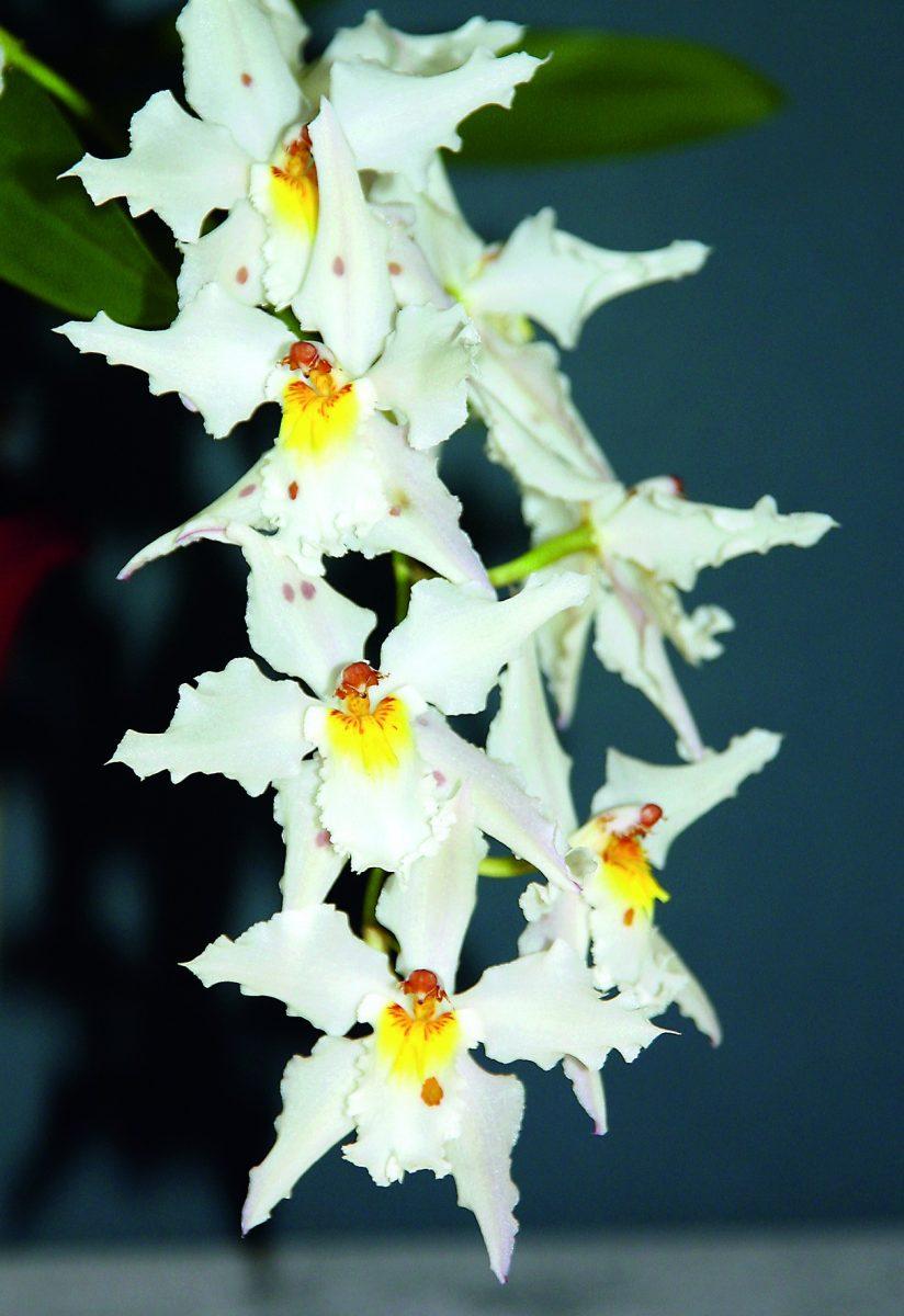 Cattleya maxima var. coerulea (Peru)