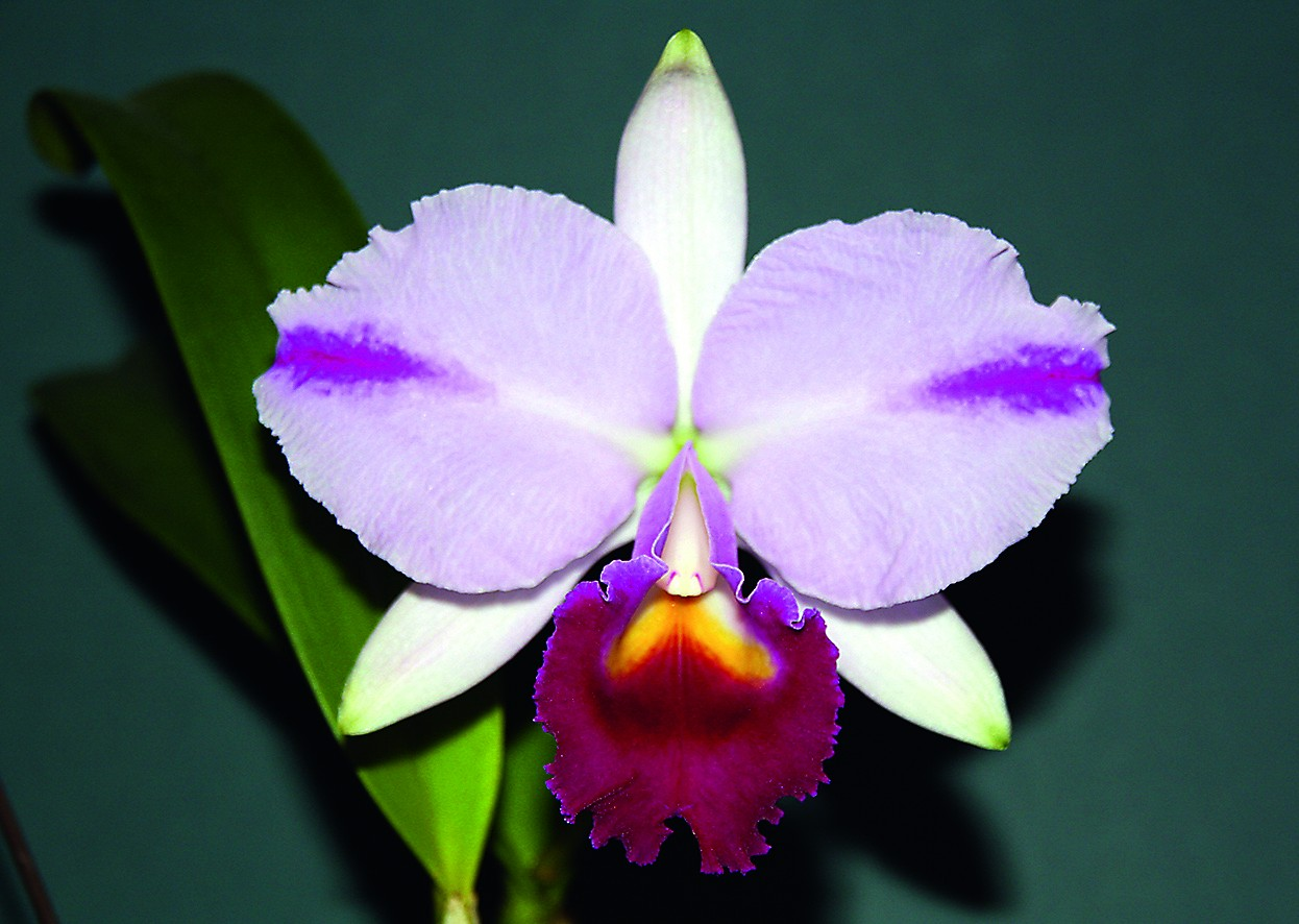 "Cattleya trianae ""Mooreana"" aus Kolumbien"