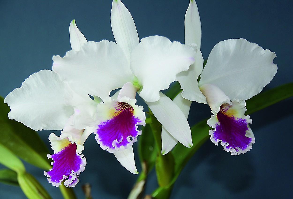 "Cattleya labiata var. semialba ""Perola rubra"" aus Brasilien"