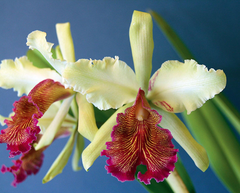 Ein Blütenwunder aus Kolumbien (Cattleya dowiana var. aurea)