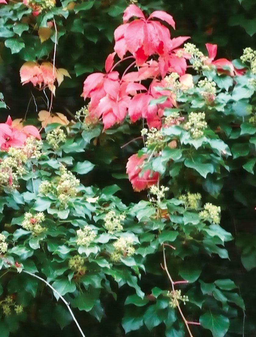 Efeu (Hedera helix), hier im Herbst, kann Benzol bis zu 90% abbauen.