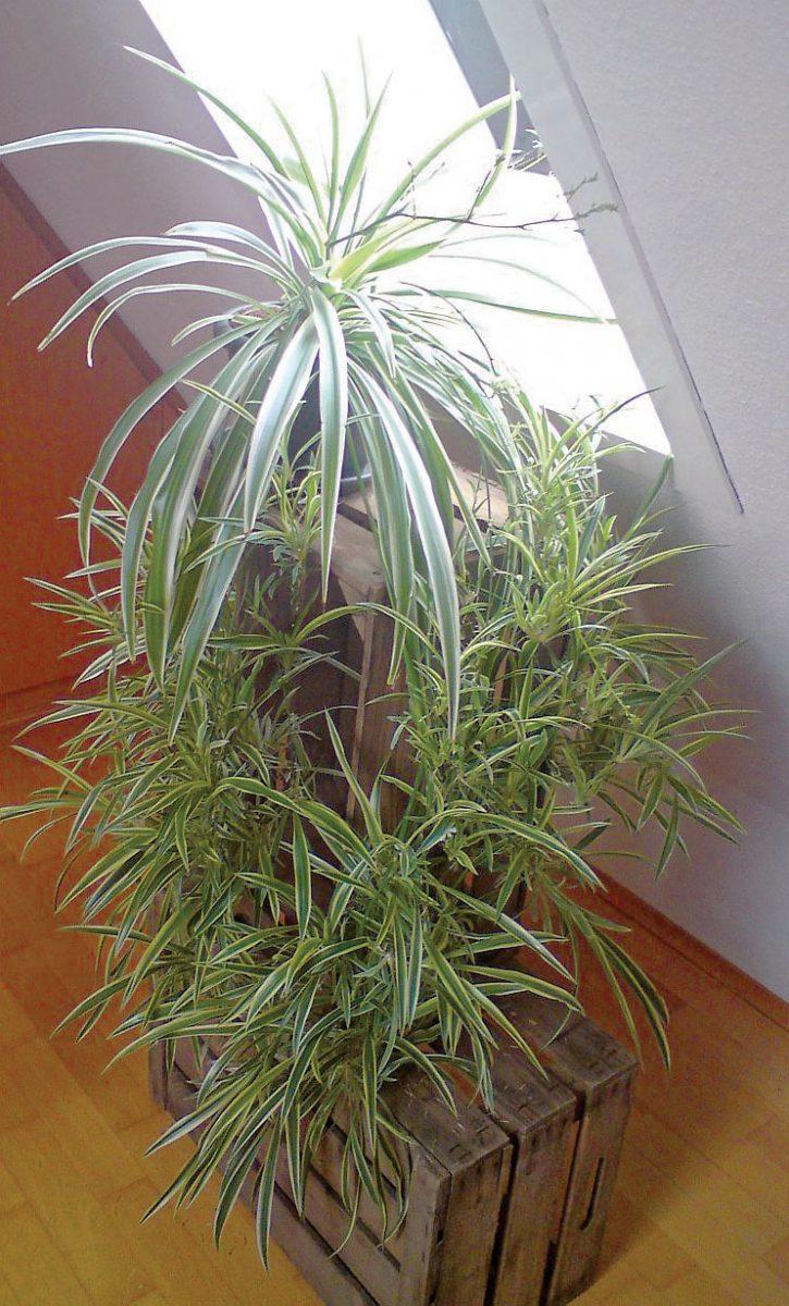 Die Grünlilie (Chlorophytum elatum) kann Kohlendioxid bis zu 96% abbauen.