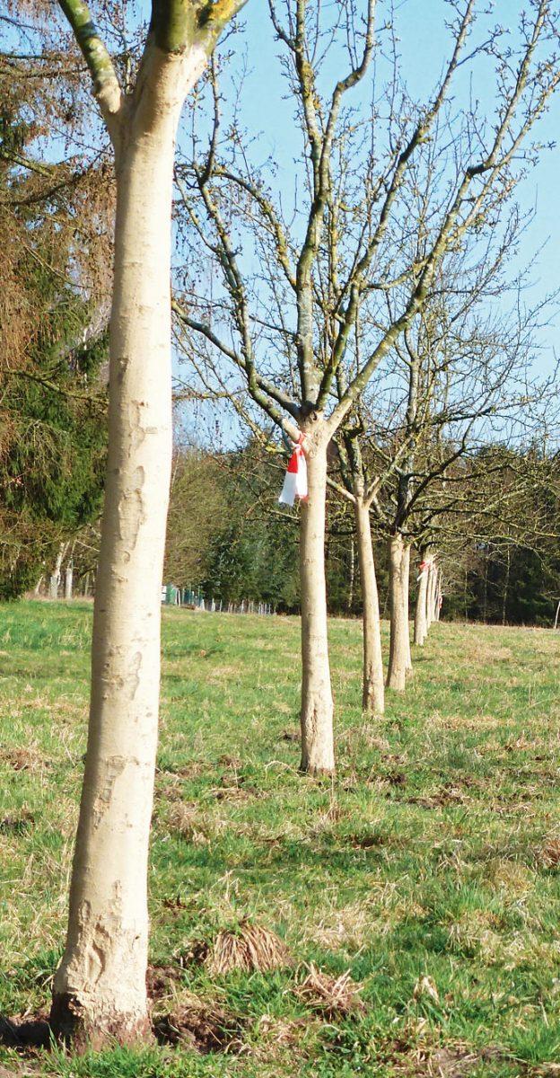 Alle Bäume wurden mit einer EM-Lehmpaste bestrichen, um sie vor Pilzen und Schadbakterien zu schützen.