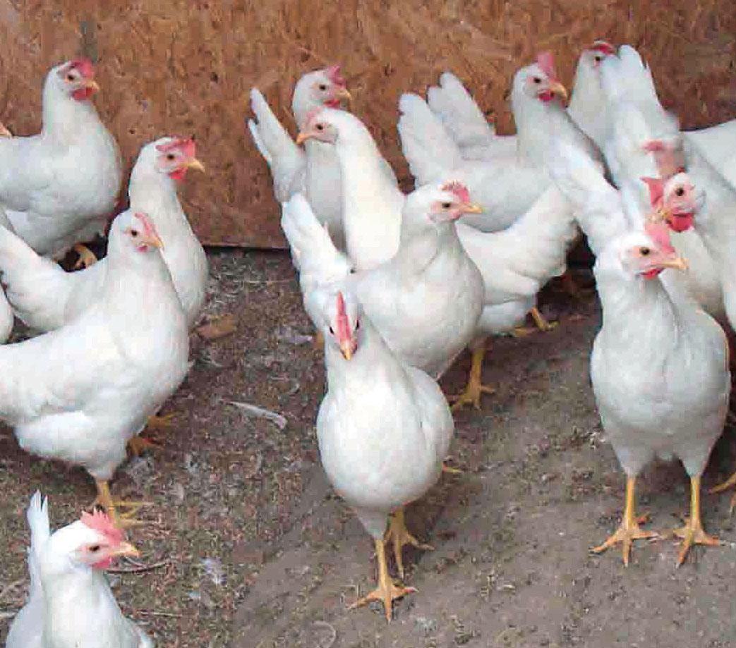 Mit EM versorgte Hühner in einem Schweizer Legebetrieb