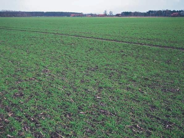 Sorte Magnat Aussaatstärke: 270 Körner m2, Aussaattermin: 9.10.07 Deutlich sind die Ernterückstände von CCM zu sehen. Sie bilden guten Erosionsschutz. Trotz hoher Niederschläge gibt es hier keine Bodenverschlämmung. Optimaler Pflanzenbestand, kräftige Einzelpflanzen