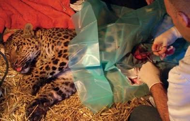 Vier Operationen hat Tara, die Leopardin dank EM-X überstanden.