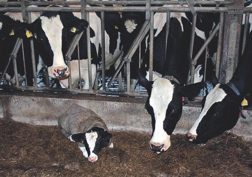 Ein neu geborenes, gegen Kälte geschütztes Kälbchen bei der Herde