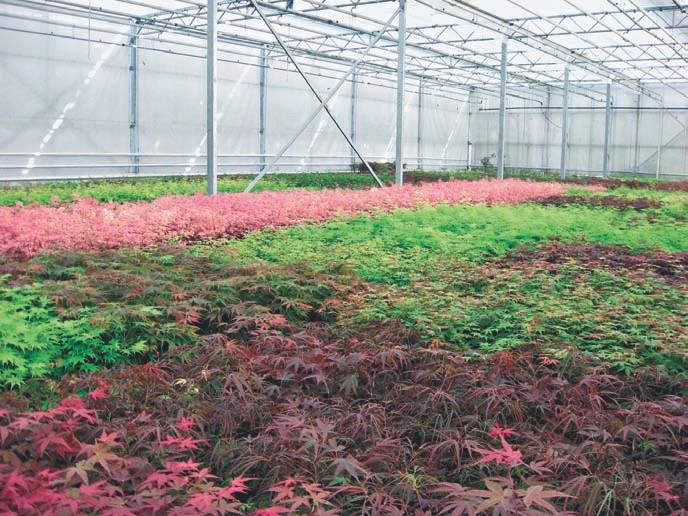 Ein Teil der farbenprächtigen Pflanzen werden unter Glas gezogen.