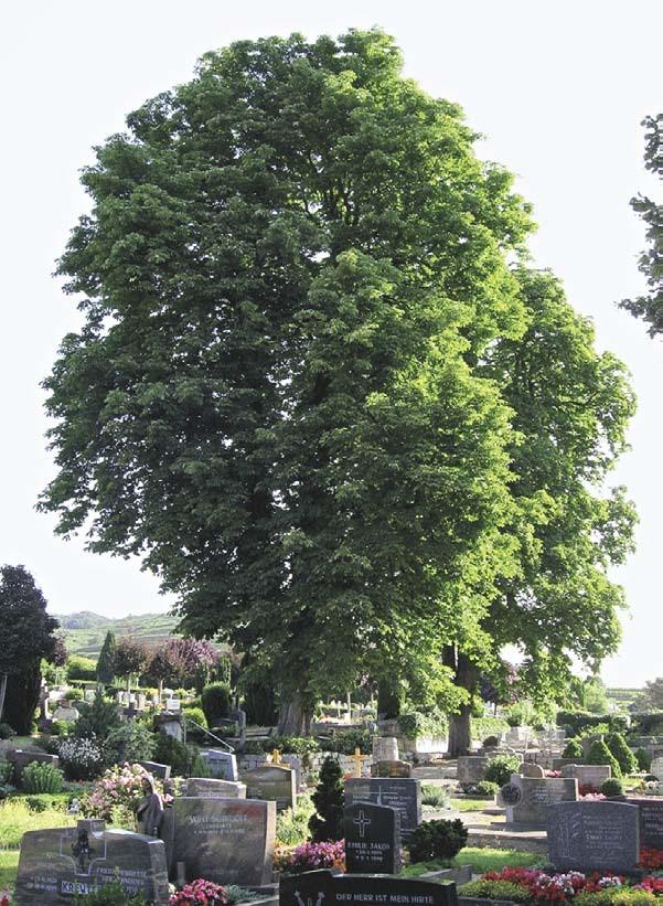 Ende September: EM-Kastanien noch voll im Grün
