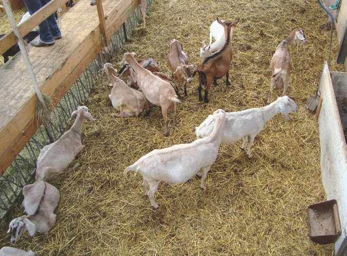 Es ist nicht zu übersehen, dass sich die Ziegen in diesem Betrieb wohlfühlen.