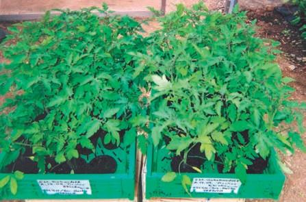 Versuche bei Tomatenpflanzen mit EM