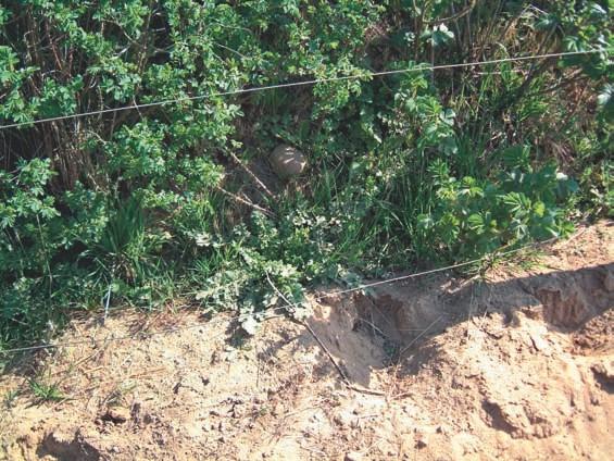 Jakobskreuzkraut auf Sandboden neben einem Reitplatz, hier möchte die Natur mehr organische Substanz im Boden haben.