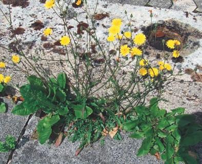 Selbst auf extrem ungünstigen Standorten, hier zwischen den Platten eines Gehweges, wächst Jakobskreuzkraut als Pionierpflanze.