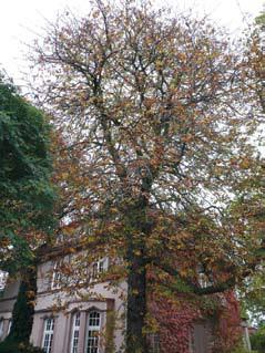 Kastanienbäume retten