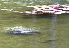 Gesund ist das Wasser auch hier, wie die großen Karpfen zeigen.