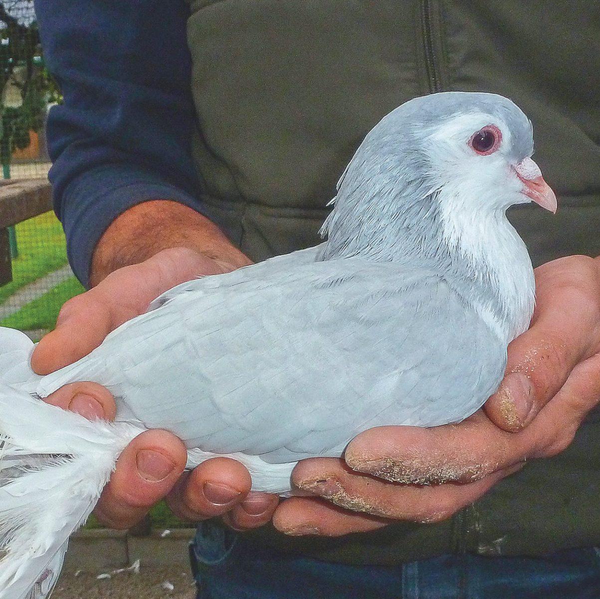 Züchter Christian Stenglzeigt eine seiner EM versorgten Lahore Tauben.