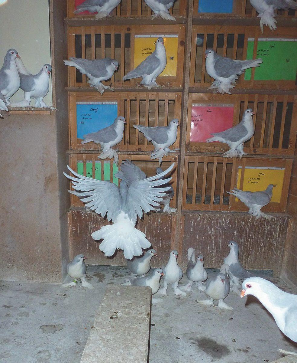 Auch die hübschen Lahore-Tauben profitieren von EM.