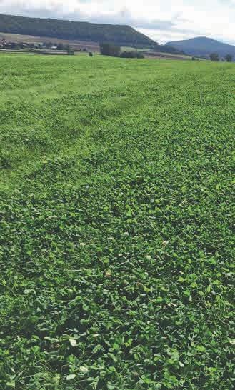 Dasselbe Feld: Bis zum Herbst hatte sich ein stattlicher Kleegrasbestand etabliert, der dann entweder im Herbst oder im folgenden Frühjahr wieder mit EM behandelt und in den Boden eingearbeitet wird.