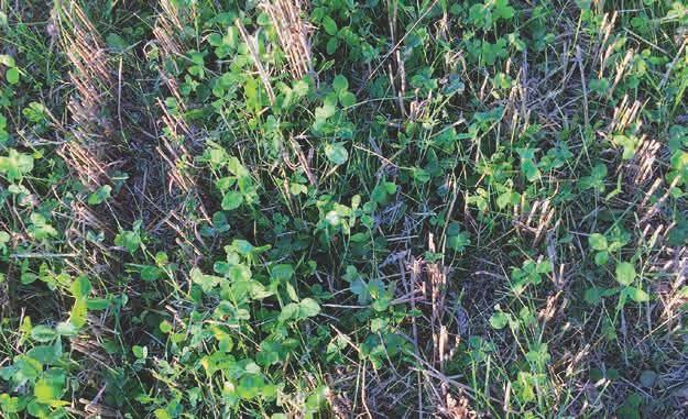 Ein schönes Beispiel für eine gelungene Untersaat. Hier wurde im Frühjahr eine Untersaat aus Weißklee, Gelbklee und Deutschem Weidelgras in einen Winterweizenbestand eingesät. Zur Ernte waren diese Pflanzen noch recht klein und störten im Weizen nicht.