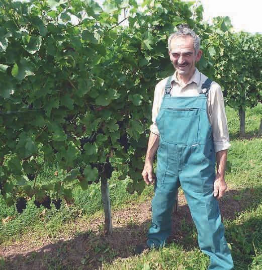 Grund zur Freude: Im August 2017 steht Otto Umbachs Wein kräftig und gesund, die Trauben ver- sprechen eine gute Ernte.