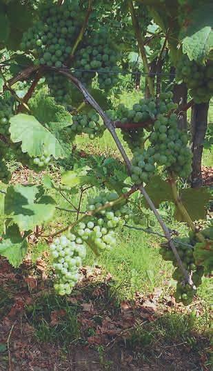 Reiche Ernte bei den roten wie den weißen Trauben