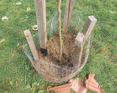 Geschützt und gut ernährt: ein junger Obstbaum auf der Wiese hinter dem Haus, gemulcht mit EM-Grassilage