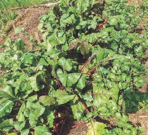 Alle Nutzpflanzen wachsen zuverlässig und gesund durch die allgegenwärtige Grassilage. Zudem kann so die Entwicklung unerwünschter Beikräuter unterbunden werden, ohne dass zeitaufwendiges Hacken nötig wird.