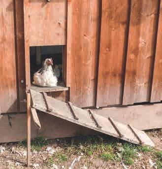 Sicher und zufrieden: EM-Hühner bei Kalmbachs